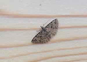 twenty plume moth PK